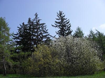 Přírodní rezervace Kamenný vrch: Rozkvetlé stromy