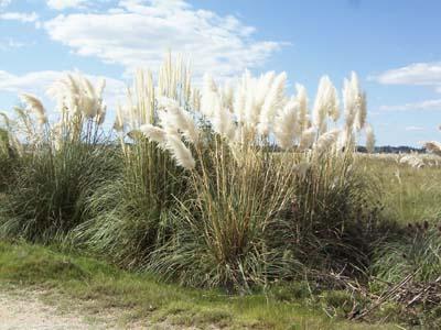 Jardines al sur curso intensivo sobre gram neas ornamentales for Gramineas ornamentales vivero