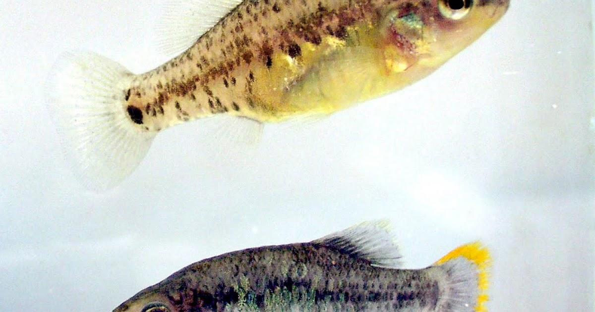 Peces ornamentales adaptacion de los peces a su medio for Manual de peces ornamentales