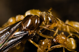 yellow crazy ants