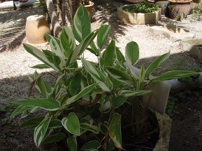 Maranta Arundinacea l Arrowroot Maranta Arundinacea