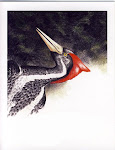 Ivory-bill print
