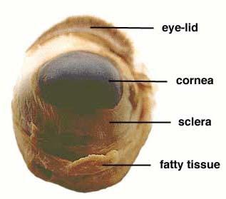 biology  Sheep    Eye    Dissection