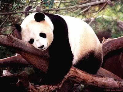 http://3.bp.blogspot.com/_XU-oKBtazrk/SavcD3P-66I/AAAAAAAABO0/Bi3yd_qGIJw/s400/panda.jpg