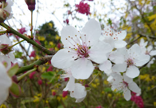 Fresh cherry blossom