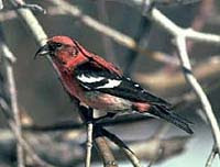 white winged crossbill USDA photo