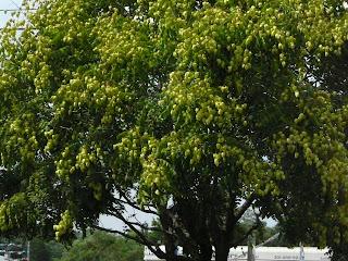 mid July Japanese lantern tree