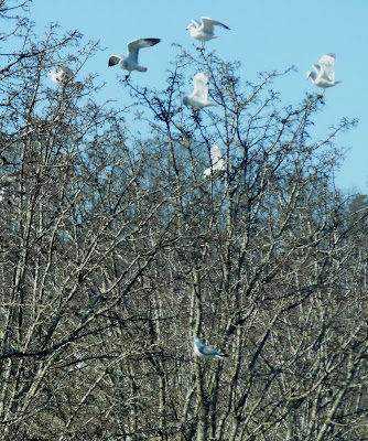 gulls trying to perch in trees