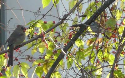 female cardinal and sparrow