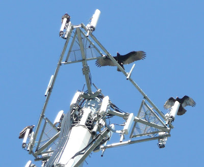 buzzards coming down on the microwave tower