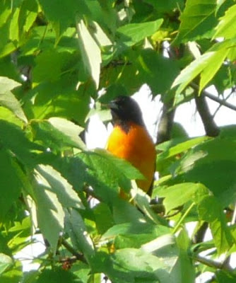 how to tell male baltimore orioles apart