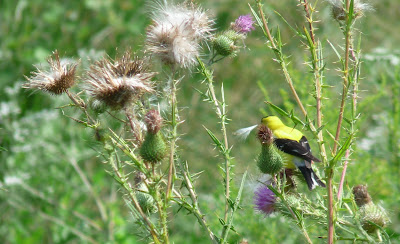 male goldfinch on thistle