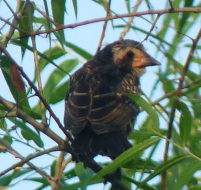 juvenile redwing