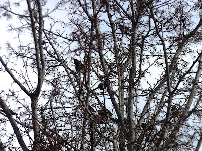 several starlings in the pear