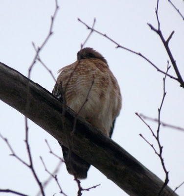 female red-shouldered hawk