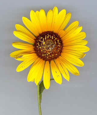 interesting facts about sunflower