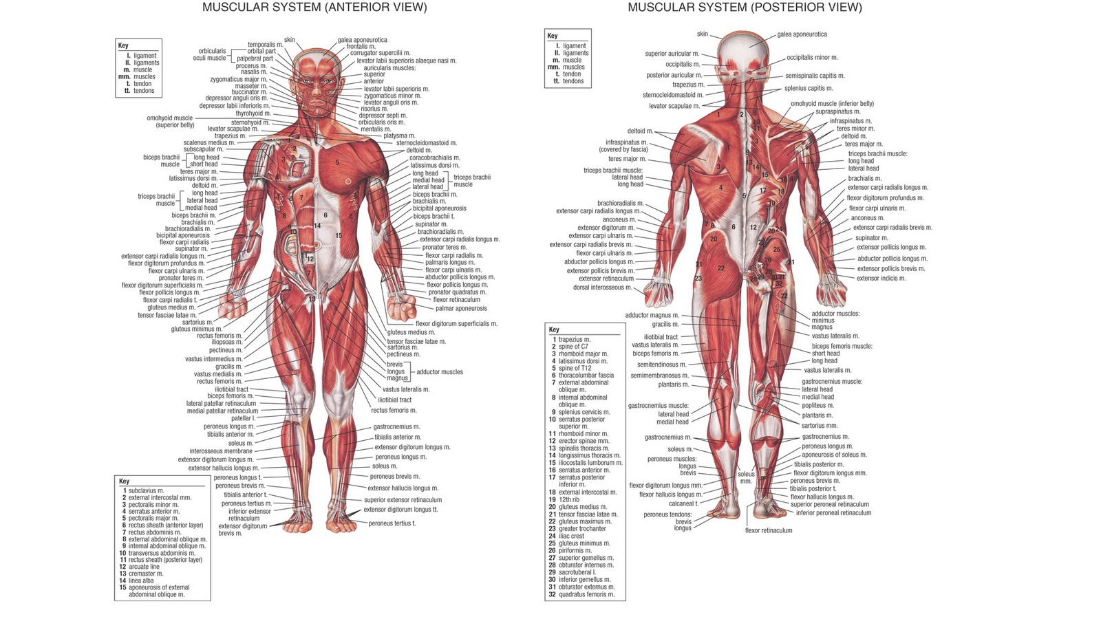 Anatomy Photos Artist Human Figure http://burke3132.blogspot.com/2011/02/muscle-desktop-wallpaper.html