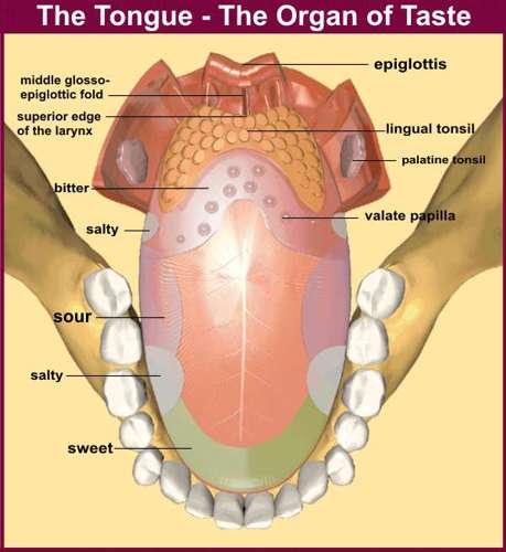 Human organs: Tongue