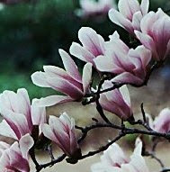 How Pretty Magnolia's are...