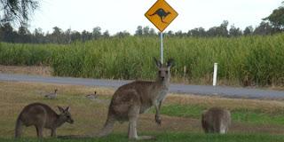 Kænguruer i Australien