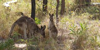 Kænguru vi så på vores rejse til Australien