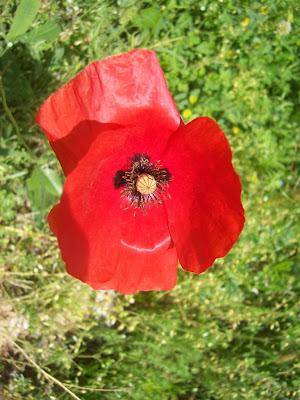 Fleur de coquelicot.