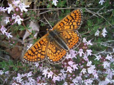 Papillon Damier de la Sucisse