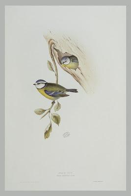 Mésange bleue Parus caeruleus gravure couleur ancienne