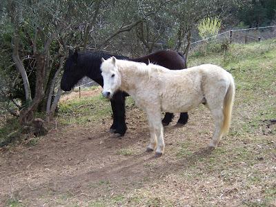 Chevaux au pré : le blanc et le noir