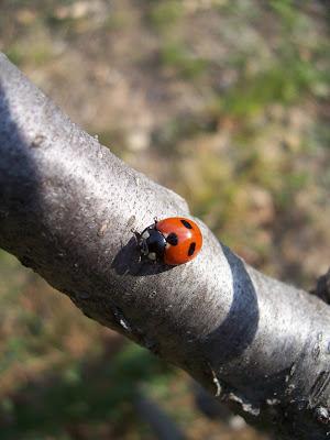 Un insecte bon pour le jardin : la coccinelle ou bête à bon Dieu