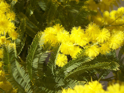 Photo de mimosa - acacia dealbata - de mon jardin