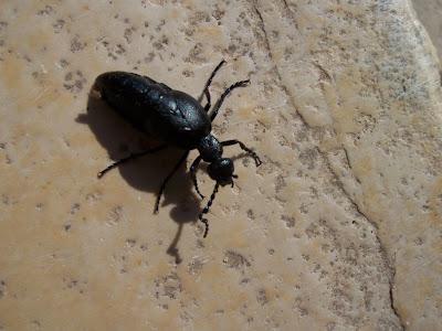Insecte : Méloé