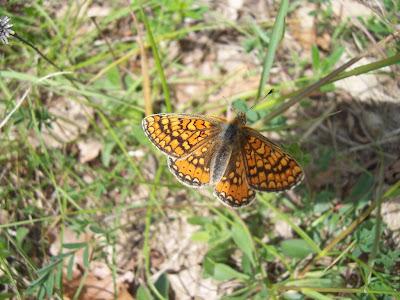 Papillon - Damier de la Succise