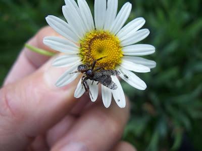 Araignée capturant une mouche sur une marguerite