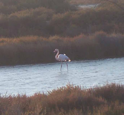 Flamand rose en Camargue
