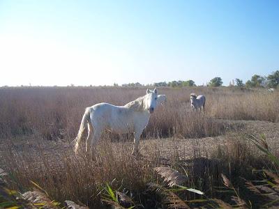 Cheval de Camargue à l'automne dans une rizière