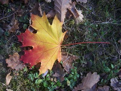 Feuille d'érable aux belles couleurs de l'automne