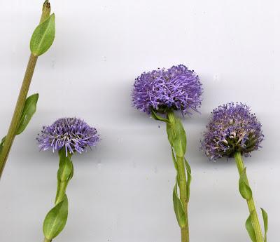 Fleurs de globulaire