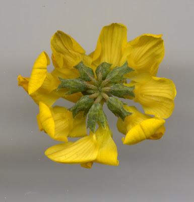 Fleur d'Hyppocrépis