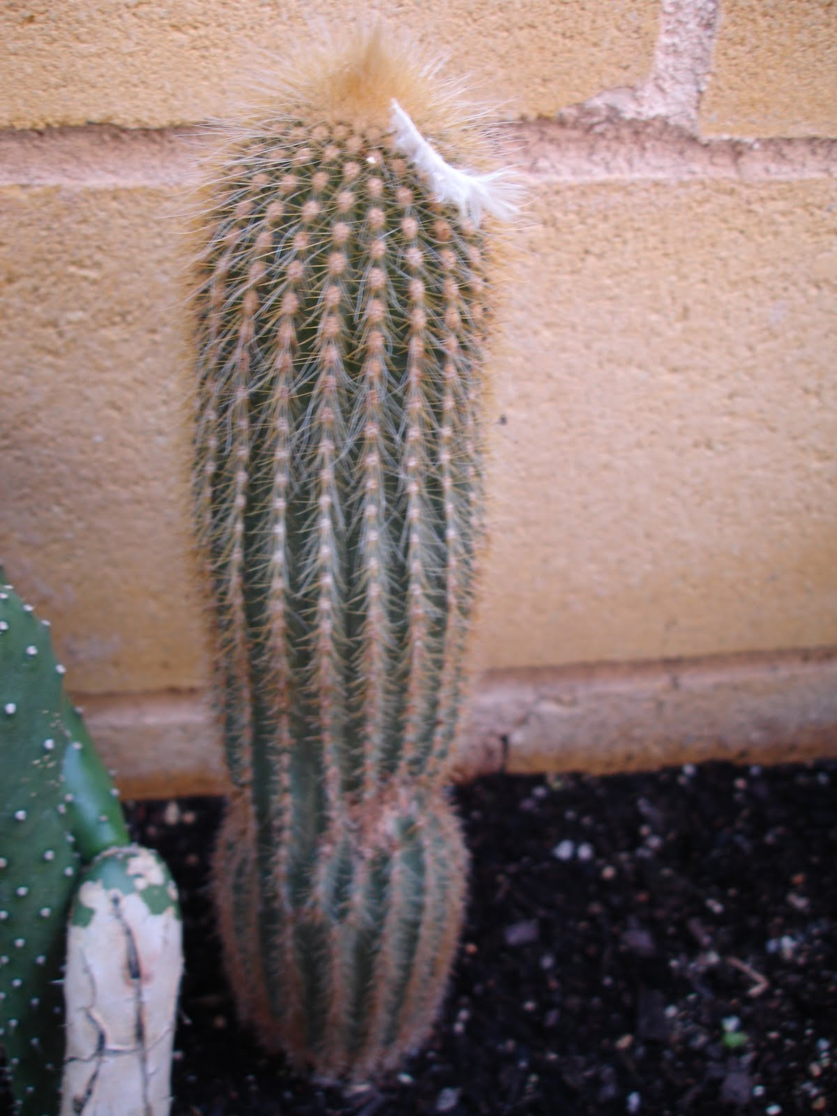 La casa de los cactus notocactus leninghausii for Donde venden cactus