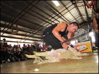 Sheep Shearing World Record