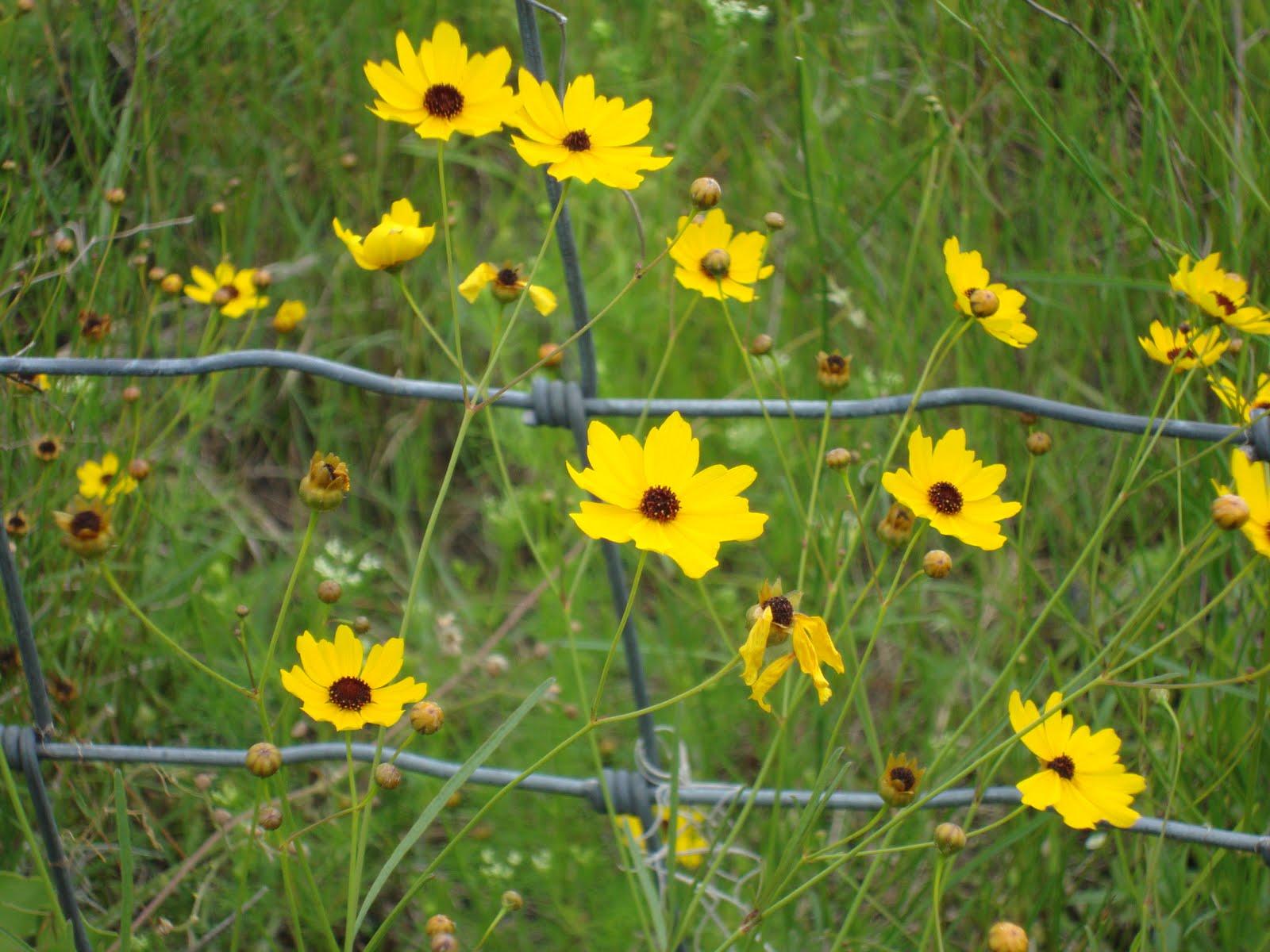 Around grandmas table florida wildflowers part 1 florida wildflowers part 1 buycottarizona