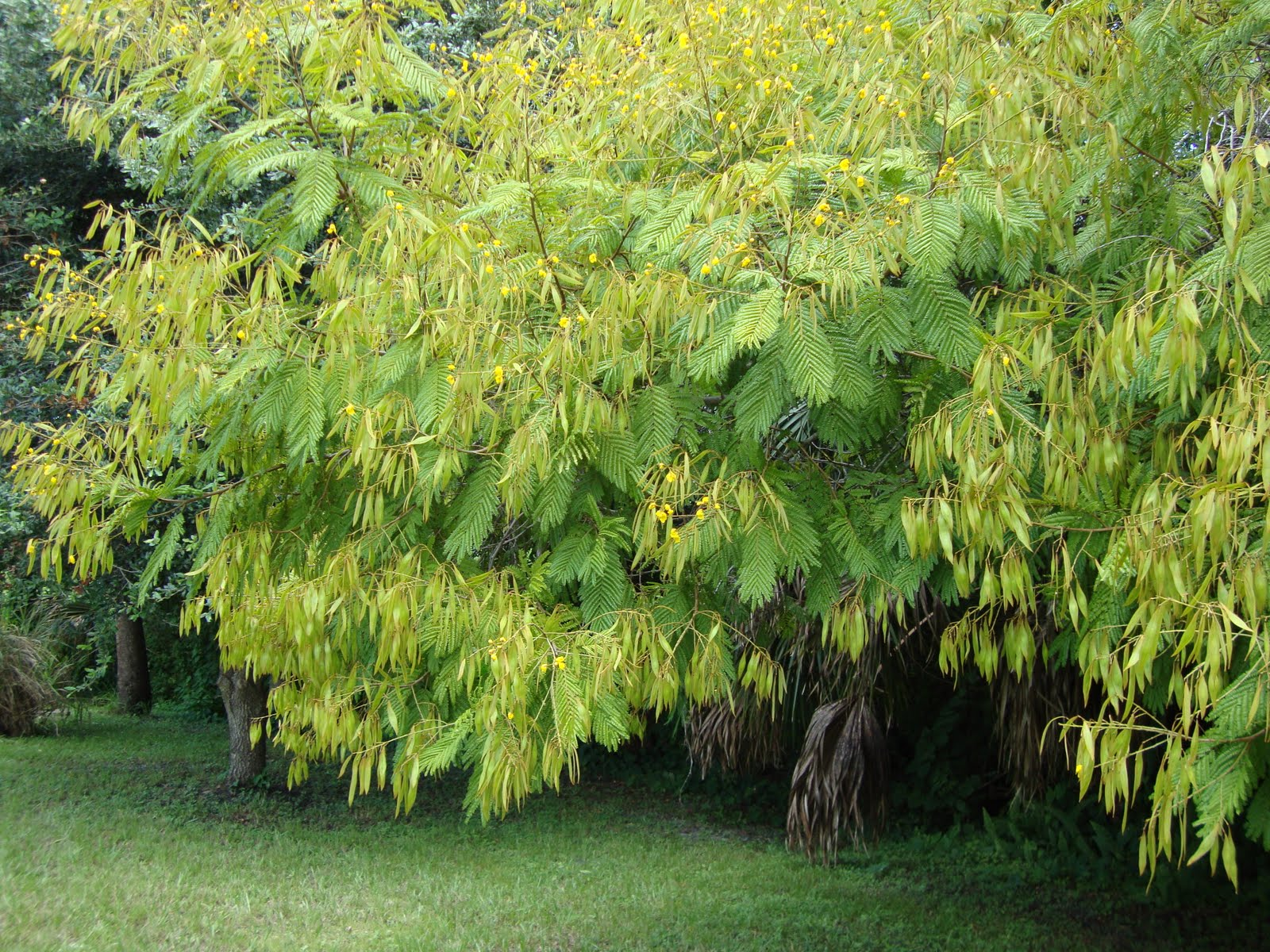 Around Grandmas Table Flowering Trees Of Ruskin Part 3