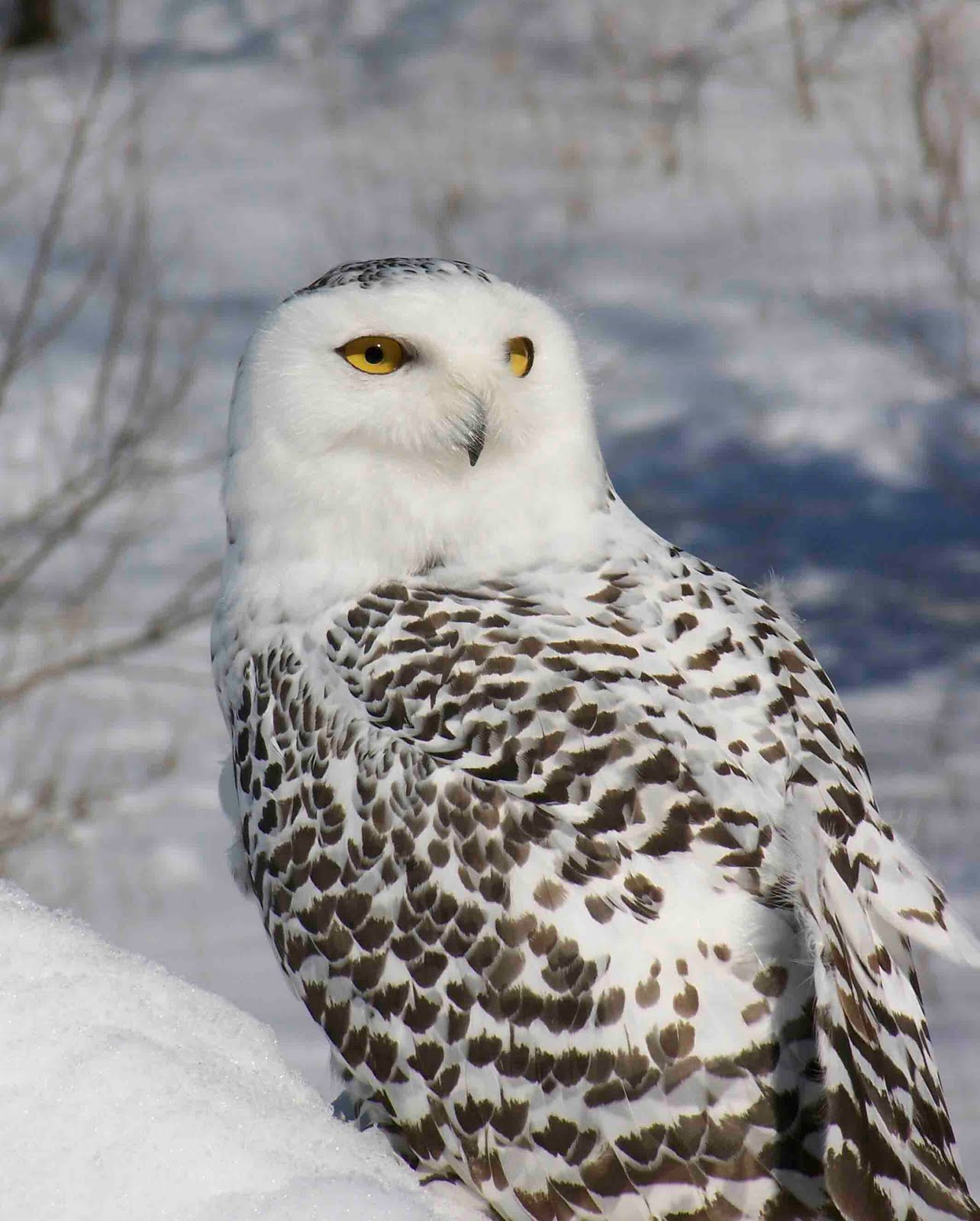 iron oak farm wild wednesday snowy owl