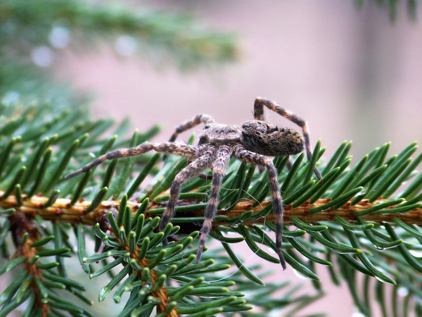 Iron Oak Farm Wild Wednesday Dark Fishing Spider