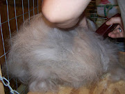 They are a mixed breed of Angora and Thrianta. Wallace is a Chestnut and .