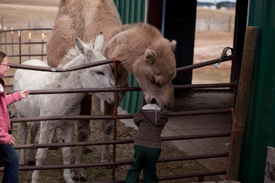 camel Camel eats child