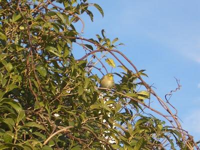 キンモクセイの木にメジロ