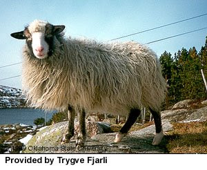 other ancient sheep breed