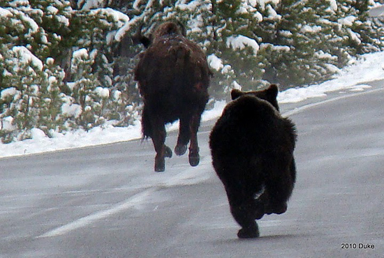 economic freedom  grizzly chasing buffalo